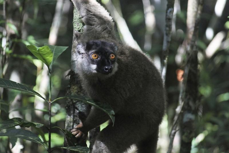 馬達加斯加狐猴(圖/美聯社)