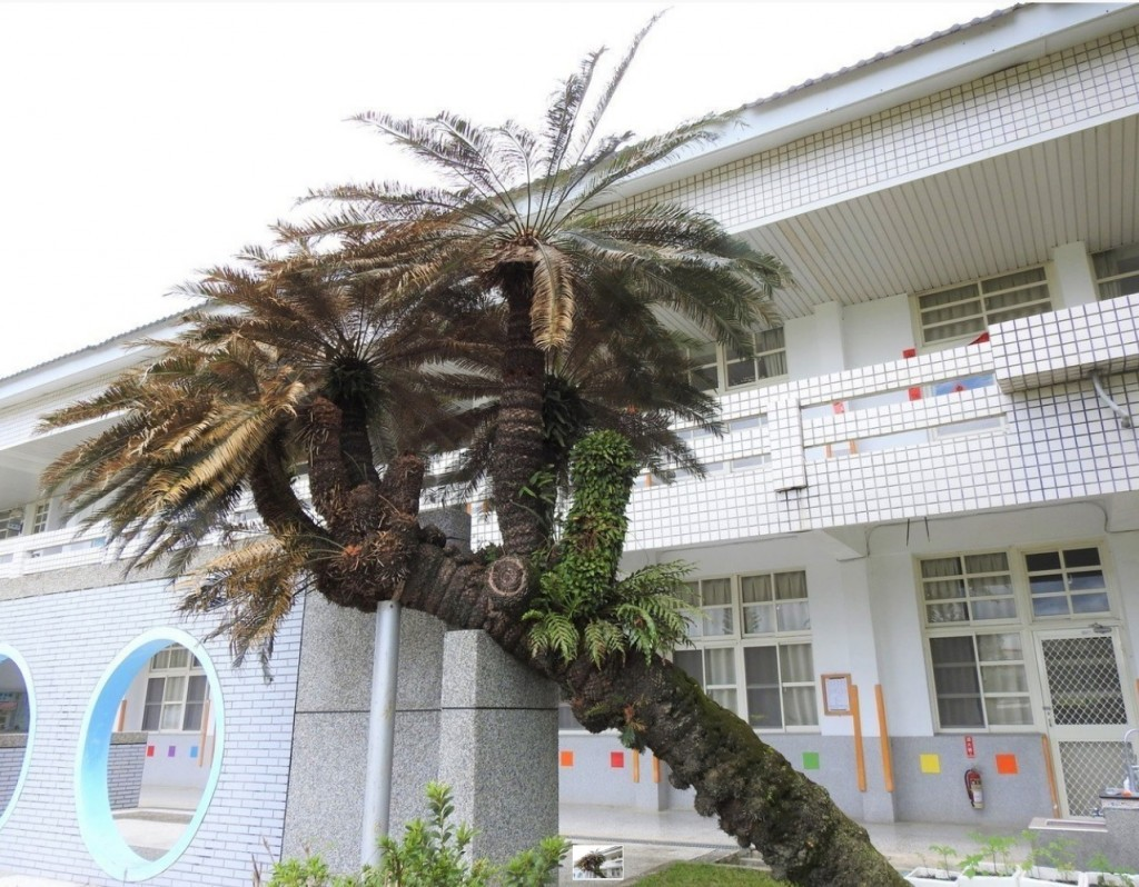 Old Taitung Cycads are placed under protection after a recent tree census. (Taitung County Government photo)