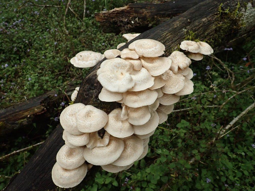 香菇屬 (Lentinus sp.)
