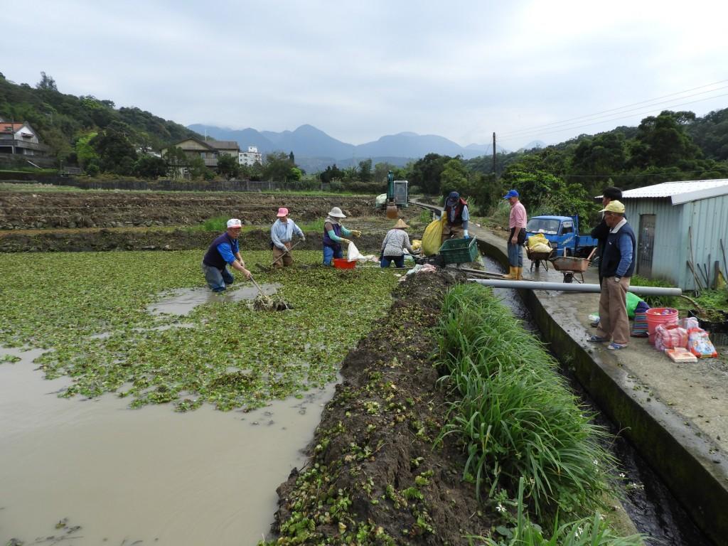 社區農友共同維護農田生態(清除粉綠狐尾藻)。(照片由新北市政府農業局提供)