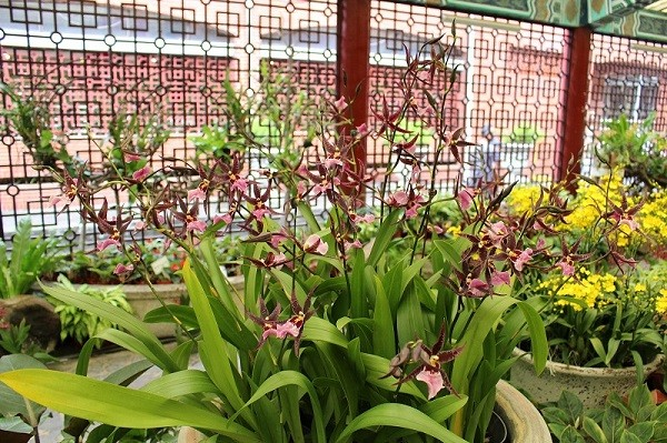 Enjoy 'Dancing Lady Orchids' at Taipei's CKS Shilin Residence Park