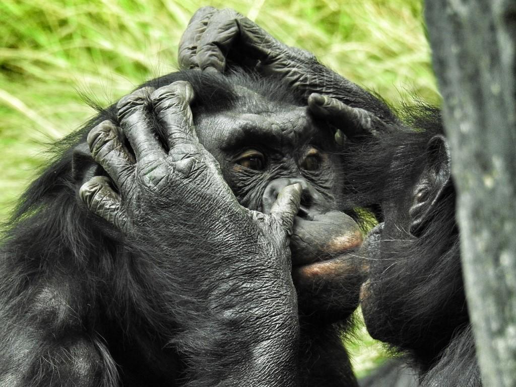 倭黑猩猩。(照片來源:pixabay)