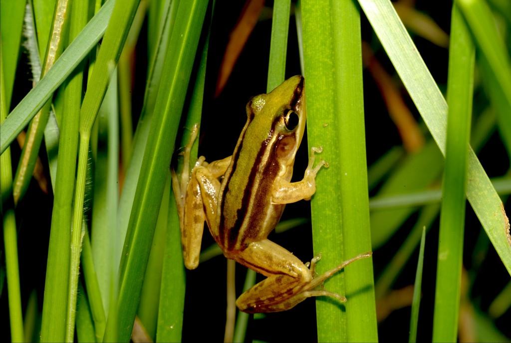 石門雷公蛙。(照片來源:新北市政府農業局)