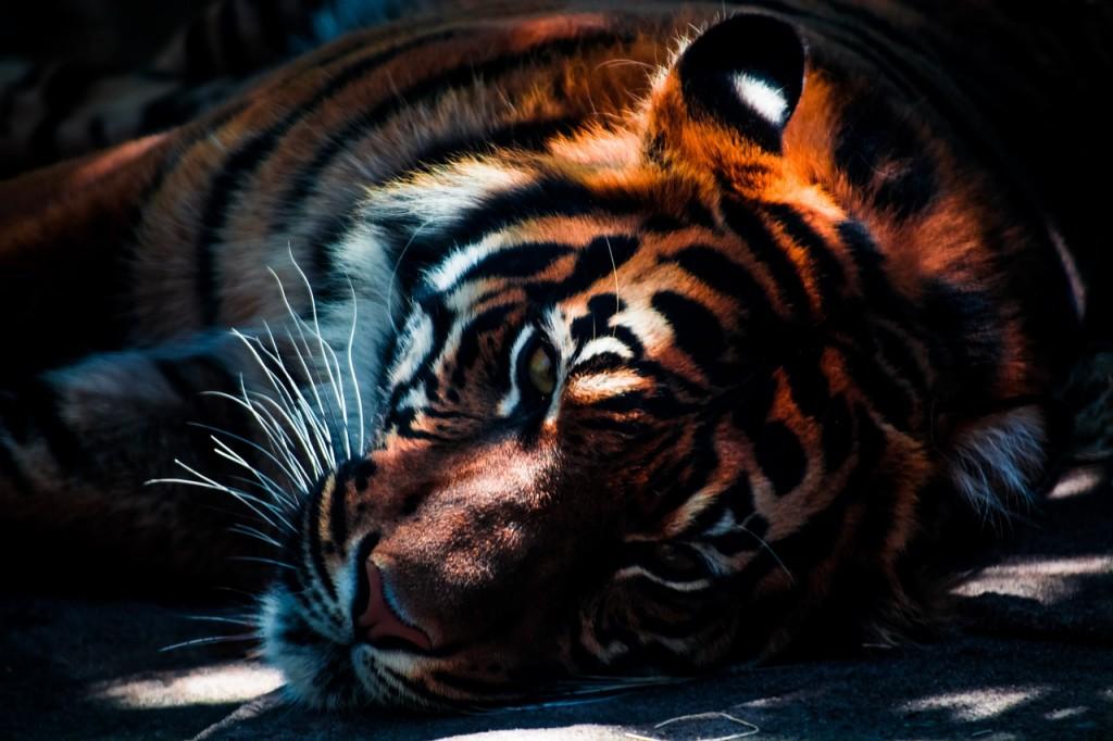 孟加拉虎(Panthera tigris tigris)....