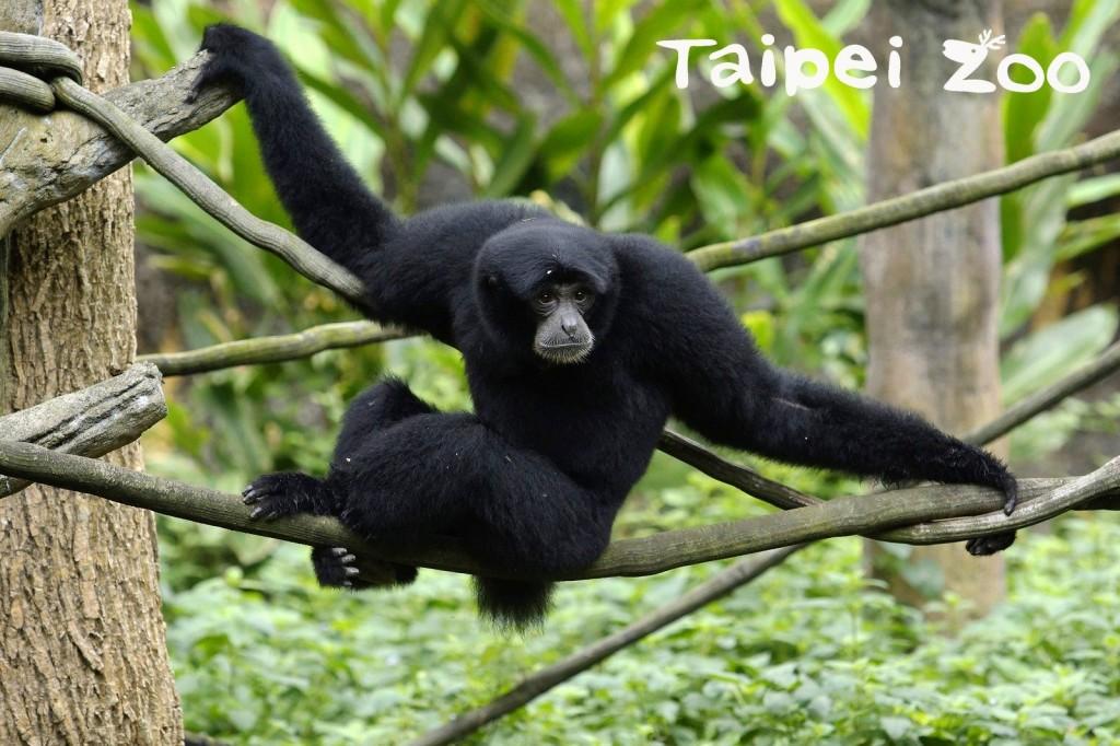 大長臂猿。(照片來源:台北市立動物園)