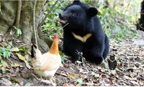 Plight of Taiwan's rare Formosan black bear covered by CNN