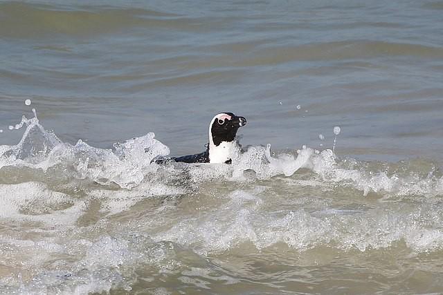 黑腳企鵝示意圖。(Bernard Gagnon CC BY-SA 4.0)