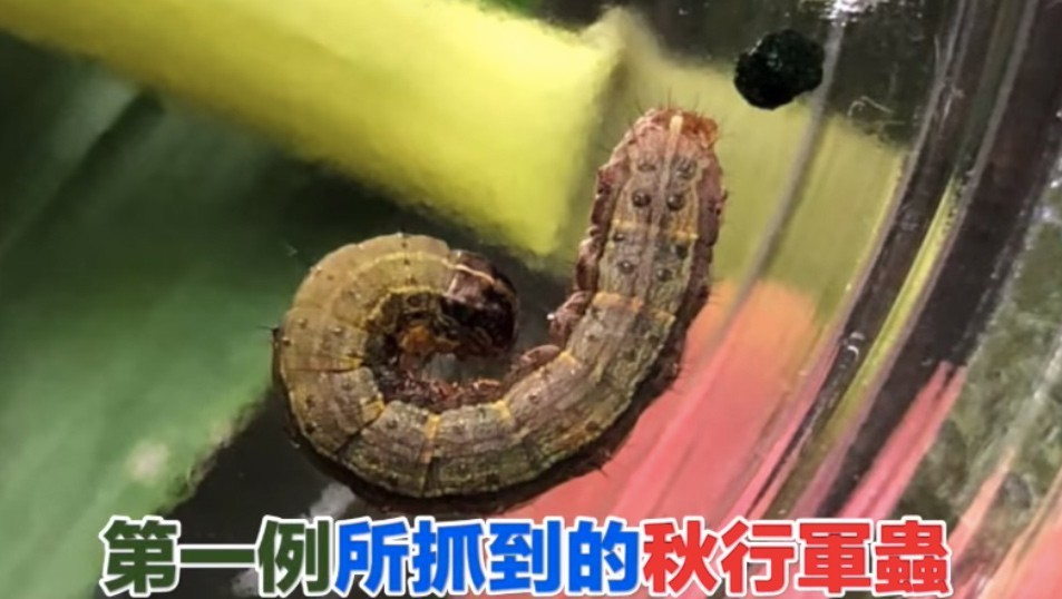 The fall armyworm has been spotted in three counties (image from BAPHIQ).