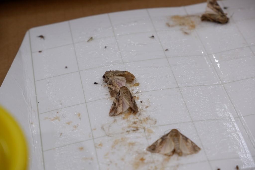 馬祖福澳港誘集到4隻是成蟲,因未經繁殖,還是第一代。