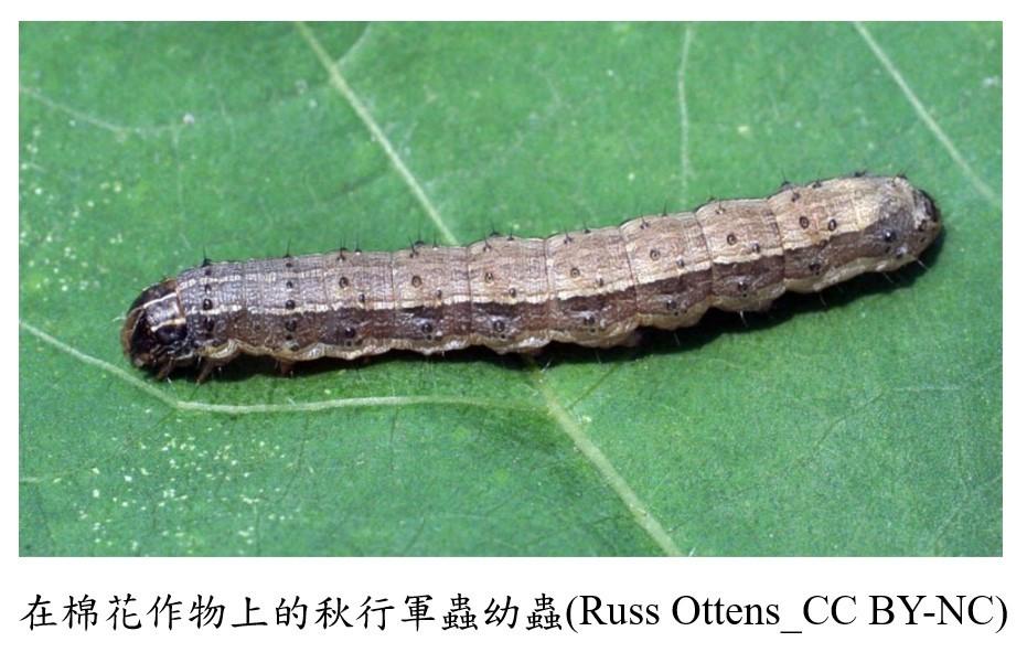 圖/秋行軍蟲災害緊急應變小組。