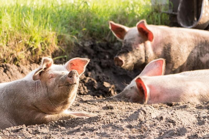 Pigs. (Pixabay photo)