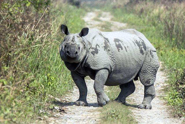 印度犀牛(Rhinoceros unicornis / CC BY-SA 4.0)