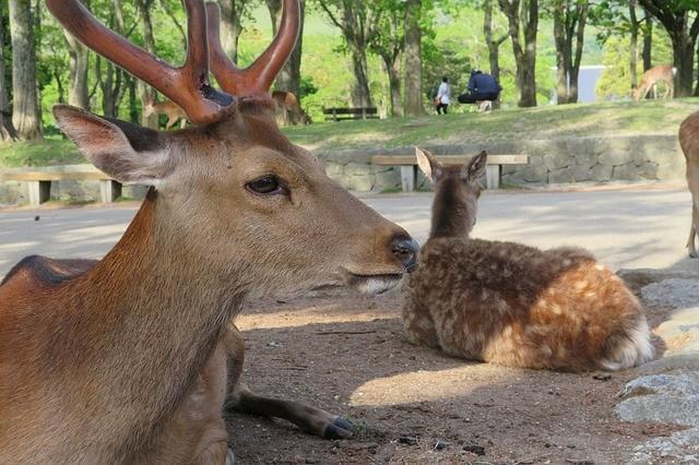 奈良公園的鹿(來源 pixabay)