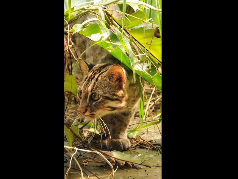 A leopard cat (Forest Bureau photo)