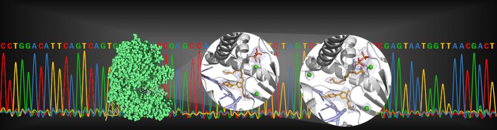 正在反應中的Thermococcus sp. 9°N DNA聚合酶3D立體結構(圖左綠色塊狀物),其本身即可執行將dNTP的3'酯剪下(右