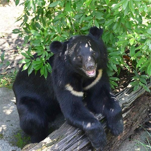 亞洲黑熊示意圖(圖/ 台北市立動物園 網站)