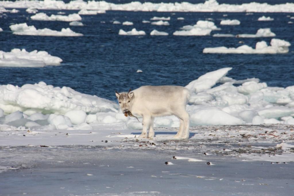 糧食短缺而體重過輕的馴鹿(圖/挪威極地研究所)