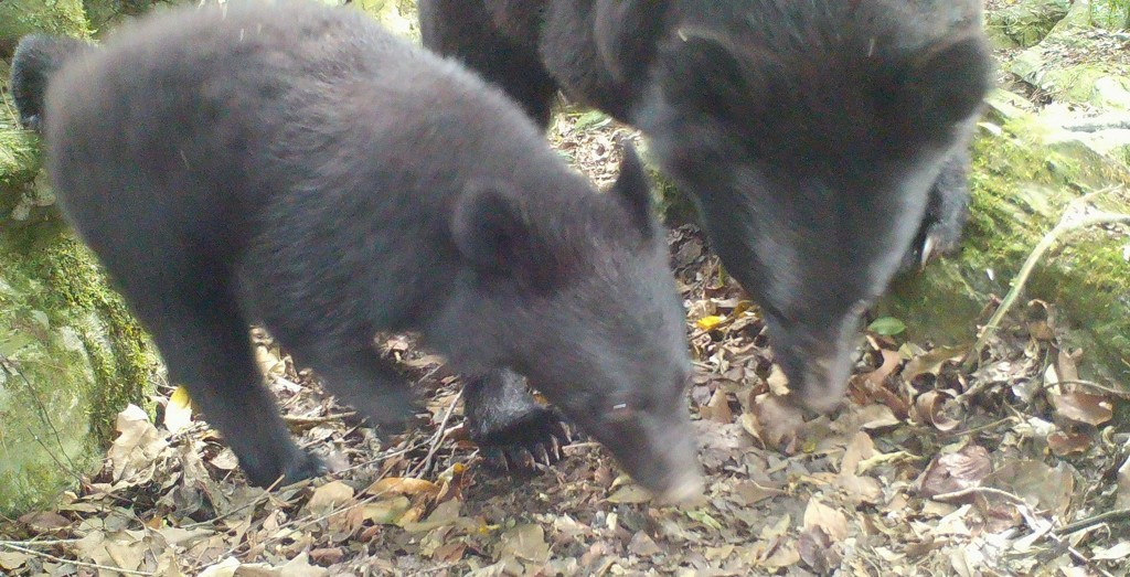 A Formosan black bear and her cub captured on camera in Hualien (photo courtesy of the Forestry Bureau).