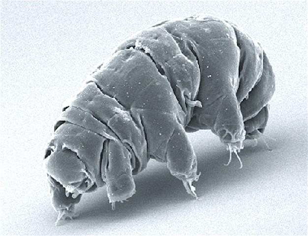 Tardigrade (Source: Wikipedia - Schokraie E, Warnken U, Hotz-Wagenblatt A, Grohme MA, Hengherr S, et al.)