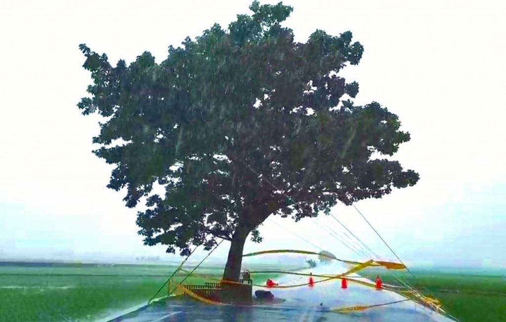 池上鄉公所利用鋼索將伯朗大道上的「金城武樹」固定,全面抗風防颱。 (許金興提供)