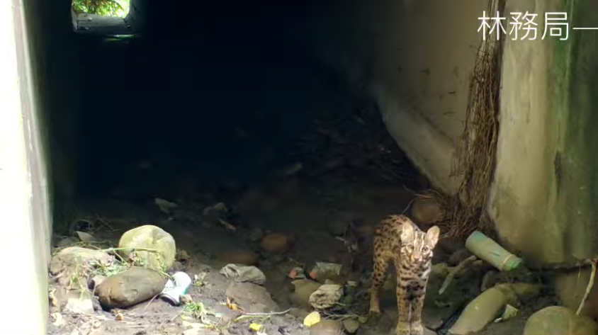 Leopard cat spotted in a culvert (Screenshot of Forest Bureau video)