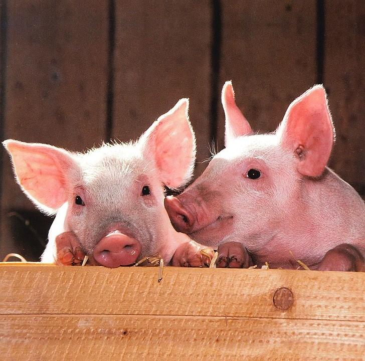豬隻示意圖,非該存活豬隻(圖/ pixabay)