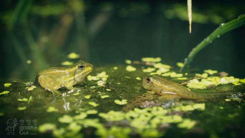 無負擔農場生態豐富-金線蛙(照片來源:無負擔農場)