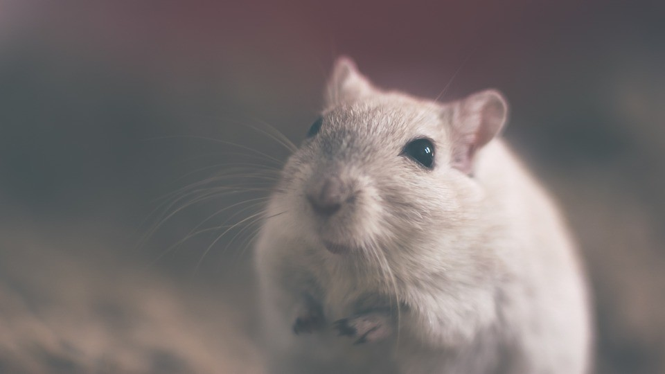 老鼠示意圖,非肇事老鼠(圖/ pixabay)