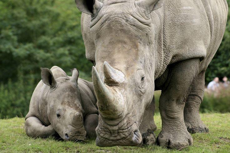 白犀牛。(照片由WildAid提供)