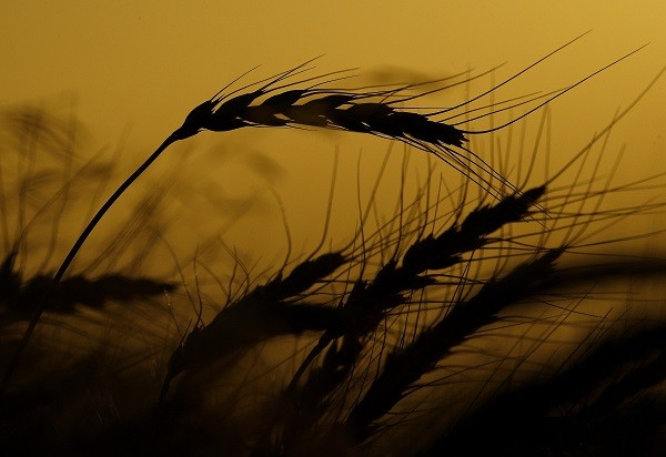 Wheat among US crops targeted by Chinese tariffs.