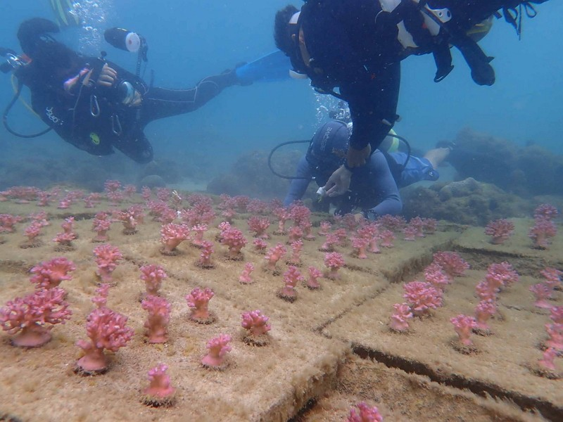 Coral planting (CNA photo)
