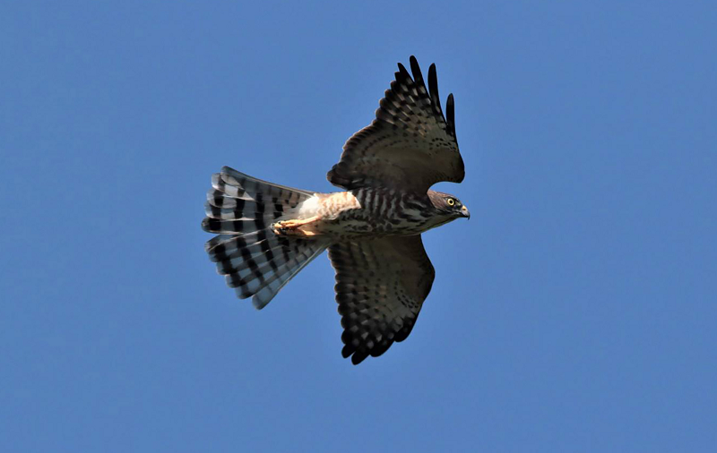 Chinese sparrowhawk photographed over Kenting National Park