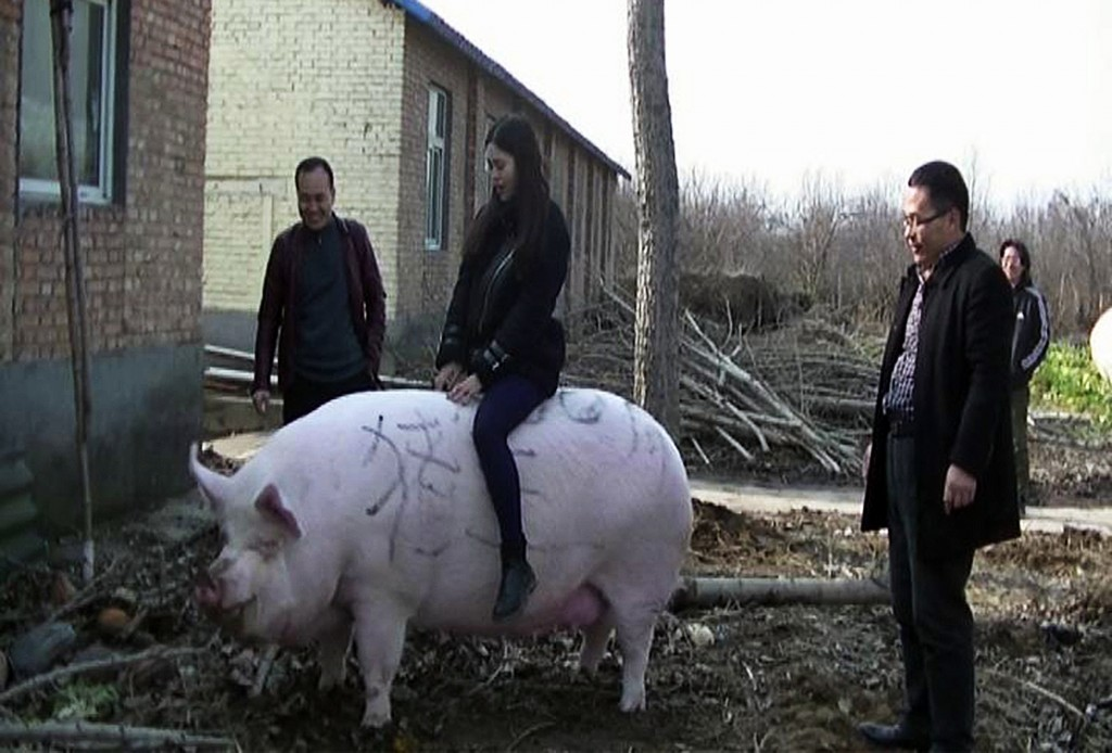 A 750-kg hog in China's province of Henan.