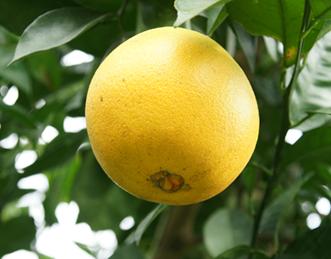 臍橙(Citrus sinensis Osbeck.),原產地在巴西,是甜橙枝條變異所選育出來的品種。(照片由農委會台東區農業改良場提供)