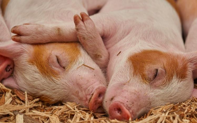 菲律賓新增2省非洲豬瘟疫區(示意圖/Pixabay)