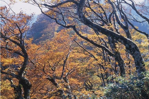 Taiwan beech trees that have fully turned color. (Taipingshan National Forest Recreation Area Administration photo)