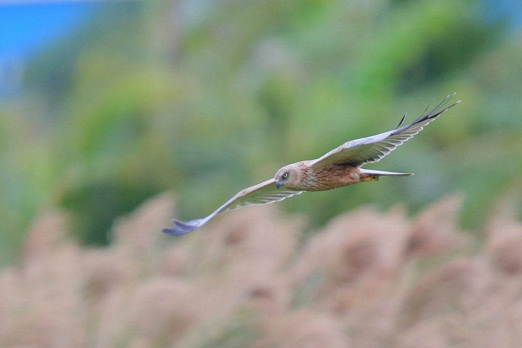 A western marsh harrier in Pingtung County (photo by Wu Chia-kun).