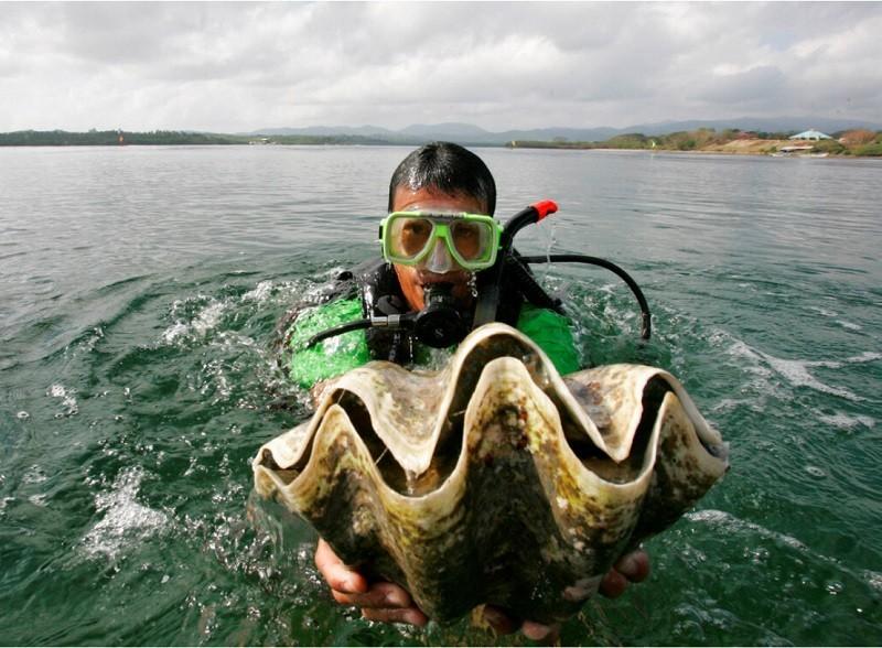 瀕臨絕種的硨磲貝 (美聯社檔案照片)