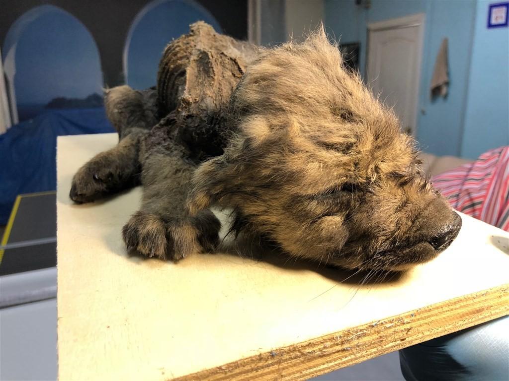 俄羅斯最近發現一隻幾乎完美保存的冰封小狗屍體,鼻、毛和牙齒都不可思議保存良好。(圖取自twitter.com/CpgSthlm/ 中央社)