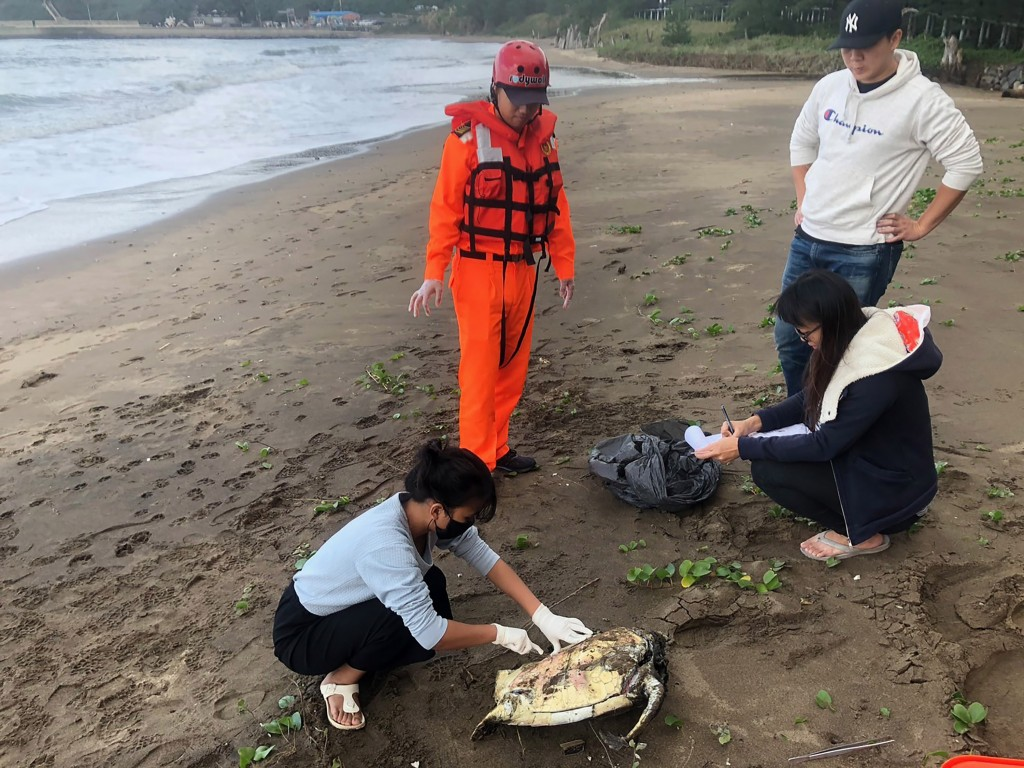 A dead green sea turtle in New Taipei City (photo by Coast Guard).