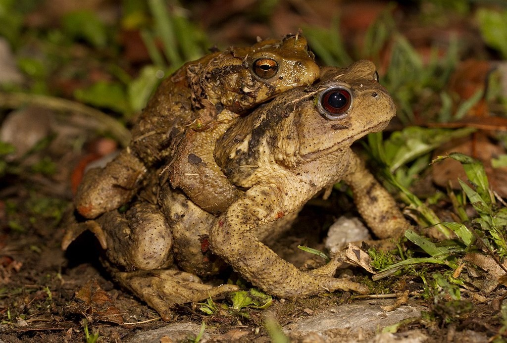 Central Formosan toads