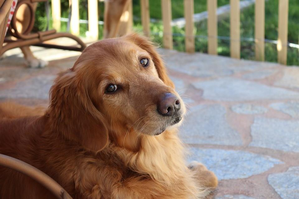 黃金獵犬(圖/ pixabay)
