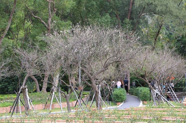 Taipei's Shilin Official Residence gets winter makeover with blooming plum blossoms
