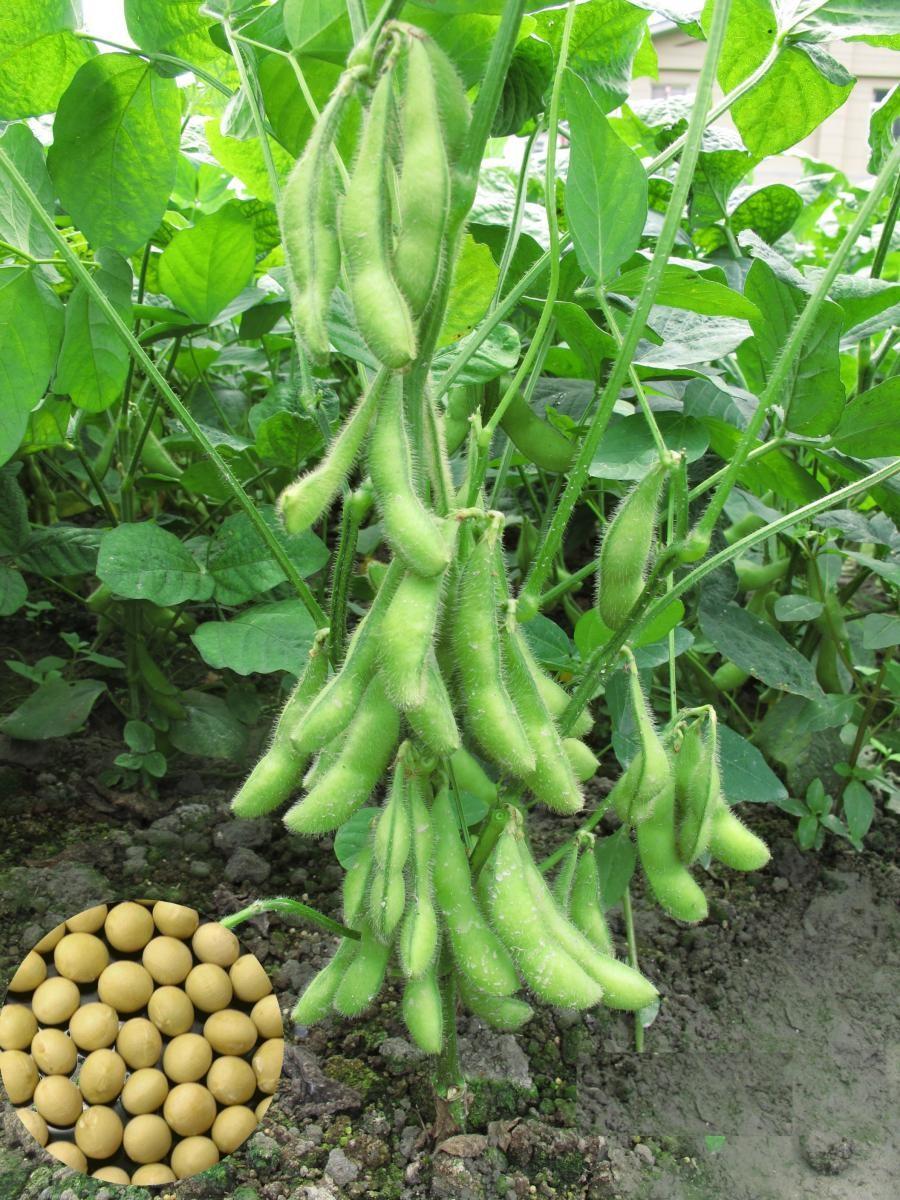 高產優質的毛豆高雄9號(左)食味品質佳,是目前的主力品種。(圖/農委會高雄區農業改良場)