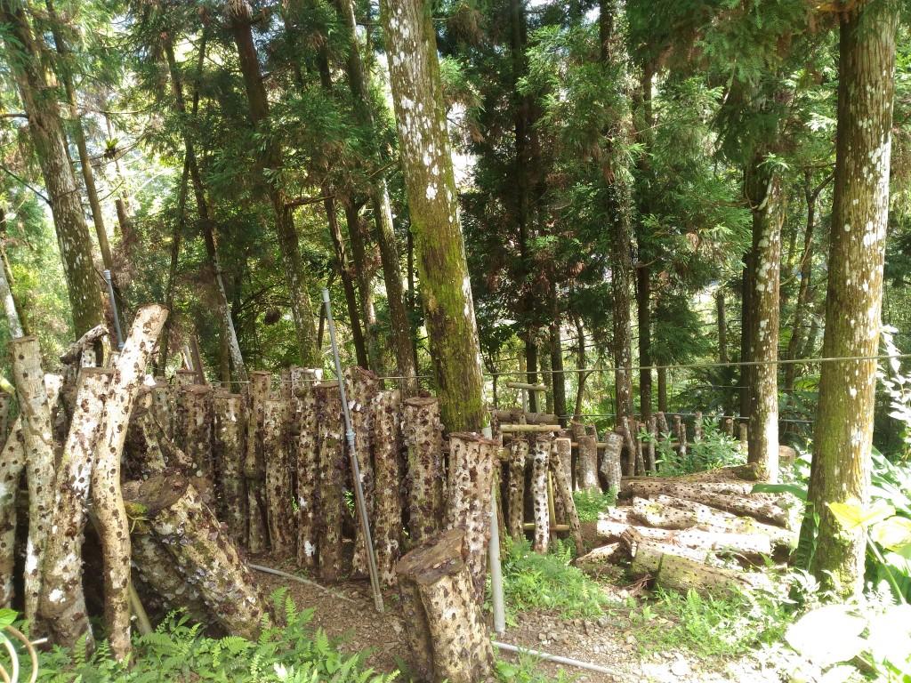 椴木香菇栽種。(照片由新北市政府農業局提供)