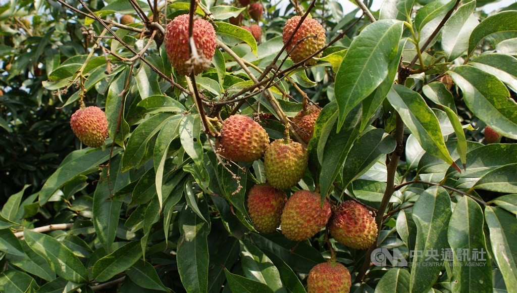 Lychee harvest likely to be cut by more than half amid climate change.