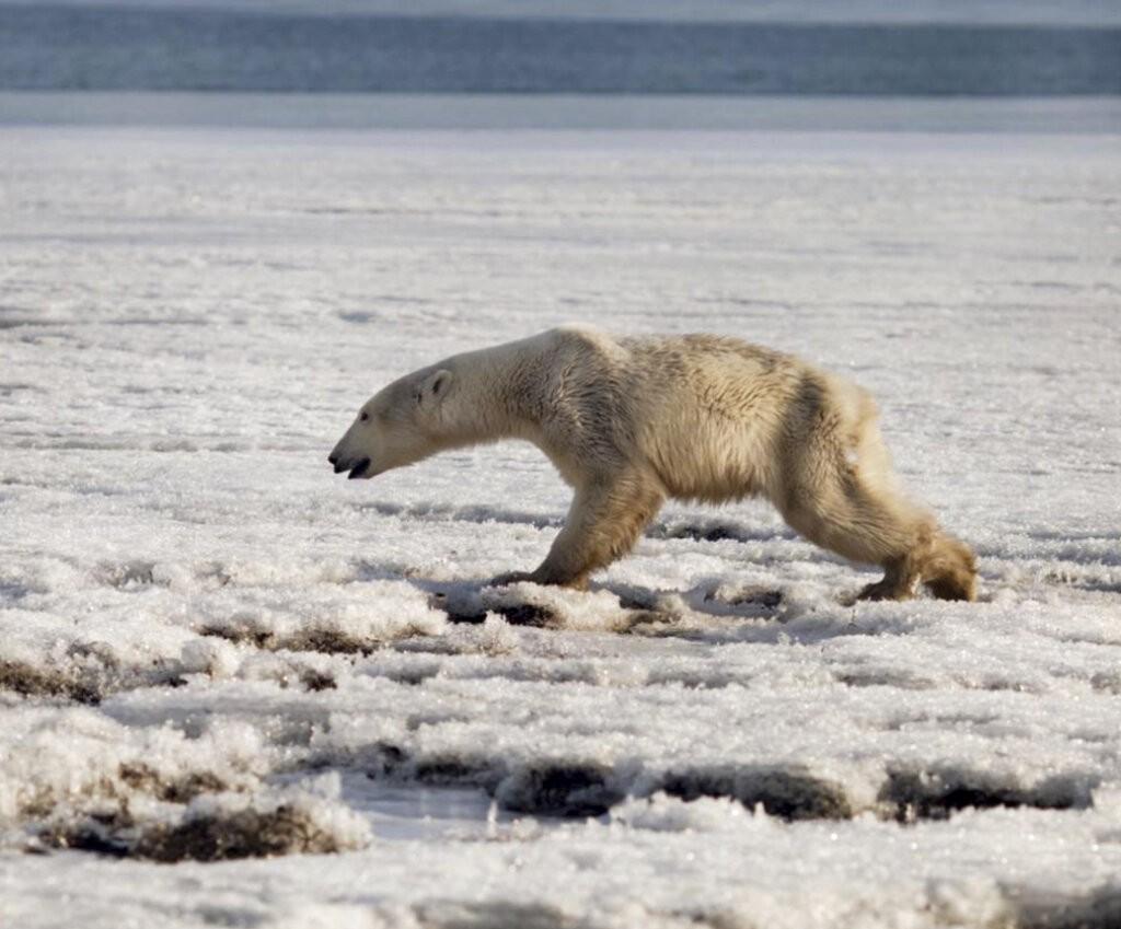 北極熊出現在堪察加半島(Kamtchatka)東北部的季利奇基(Tilichiki)。(照片由美聯社提供)