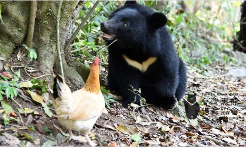 The 1-year-old Formosan black bear and its friend (screenshot from Facebook page Taiwan Black Bear Conservation Association)