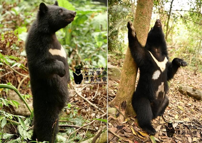 南安小熊滿週歲將野放森林(圖/台灣黑熊保育協會)