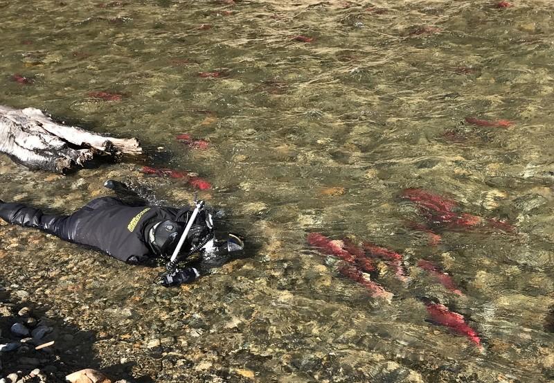 台灣水下攝影師吳永森赴加拿大拍攝太平洋紅鮭(圖/中央社)